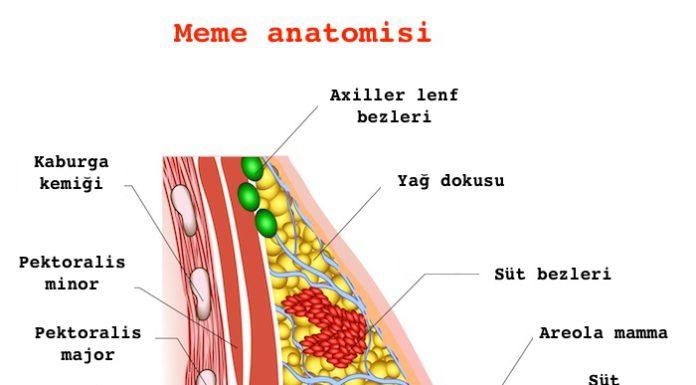 meme anatomisi